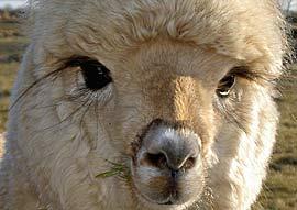 att se in i alpackans stora ögon